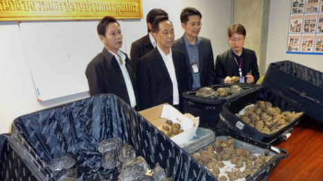 Almost 500 protected turtles found in Thai airport bags | Wildlife Trafficking: Who Does it? Allows it? | Scoop.it