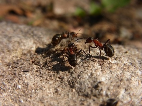 Ant Colonies With Personalities? The Meek and the Bold | Nature World News | CALS in the News | Scoop.it