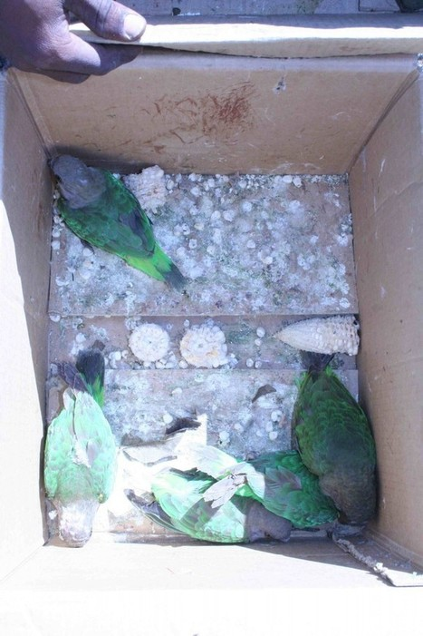 """African Grey Mafia"" Threaten Grey Parrots in Wild 