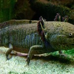 Two Genes (Piwi-like 1 and 2) From The Mexican Axolotl Provide Insights into Body Part Regeneration | amberosgoodbyce | Scoop.it