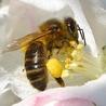Les abeilles du rucher du Plessis