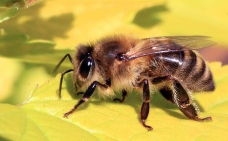 Another species of #bee added to the endangered list, almost wiped out by #Monsanto #Bayer | Messenger for mother Earth | Scoop.it