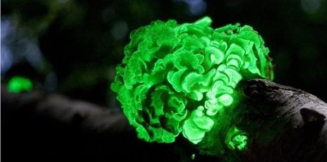 Des plantes bioluminescentes pour éclairer les villes | Autres Vérités | Scoop.it