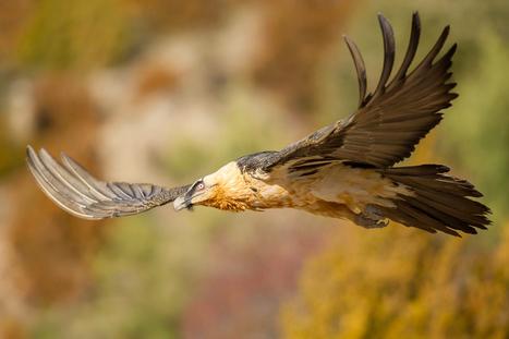 A partir du 27 janvier, exposition sur les oiseaux pyrénéens à la Maison de la nature à Aulon | Vallée d'Aure - Pyrénées | Scoop.it