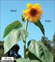 Phototropic solar tracking in sunflower plants: an integrative perspective | plant cell genetics | Scoop.it