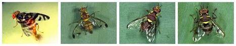 Présentation et Biologie des mouches Tephritidae de La Réunion | EntomoScience | Scoop.it