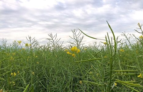 Canola acres seen rising on high prices | Grain du Coteau : News ( corn maize ethanol DDG soybean soymeal wheat livestock beef pigs canadian dollar) | Scoop.it