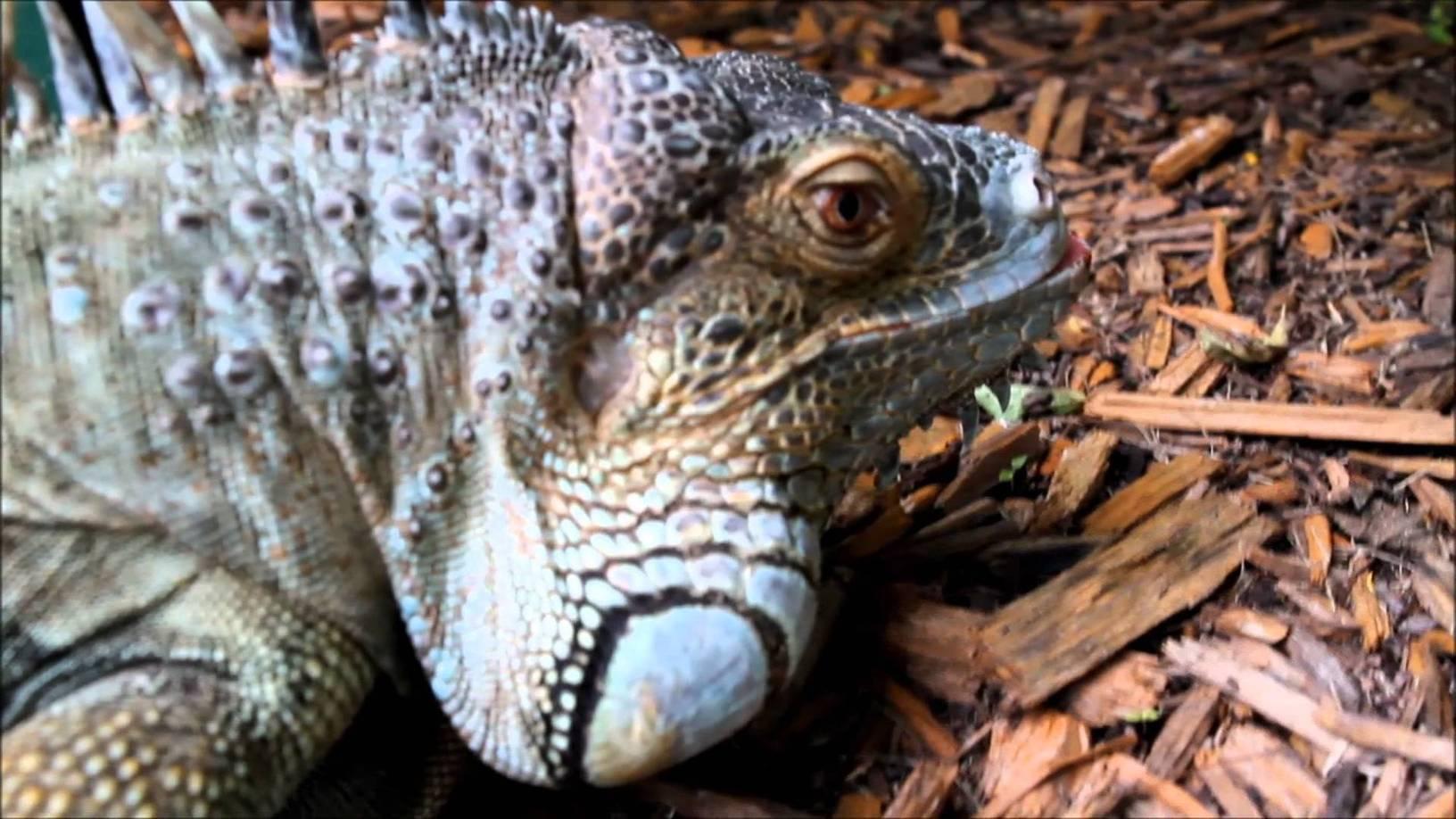 Invasive species in the everglades parque nac for Invasive fish in florida