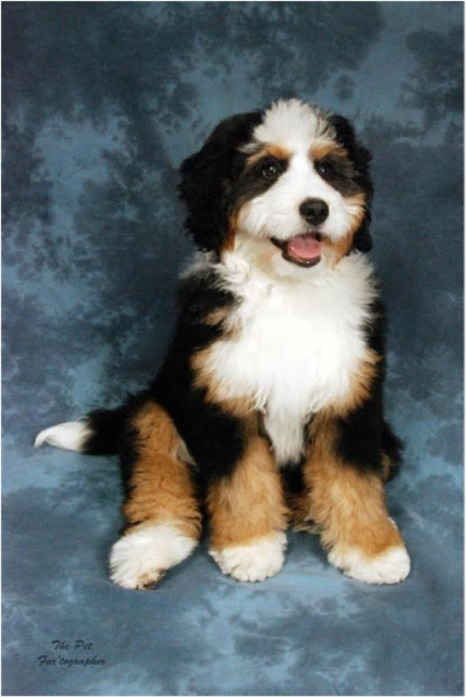 Bernedoodle Puppies For Sale Bernedoodle Bree