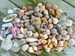 Treasures of Beachcombing on Fort Myers Beach | i Love Shelling | Real Estate Cape Coral or Fort Myers Florida | Scoop.it