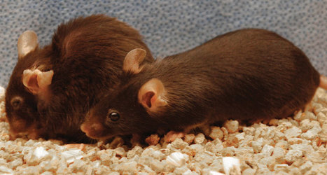 Removing senescent cells makes mice live longer and prosper | animals and prosocial capacities | Scoop.it