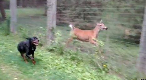WATCH: Deer And Rottweiler Play Together - Huffington Post UK   animals and prosocial capacities   Scoop.it