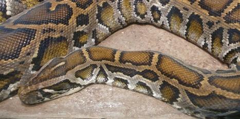 Même les serpents non venimeux possèdent les gènes pour faire du venin | Biodiversité, Herpétologie, Ichtyologie, Entomologie... | Scoop.it