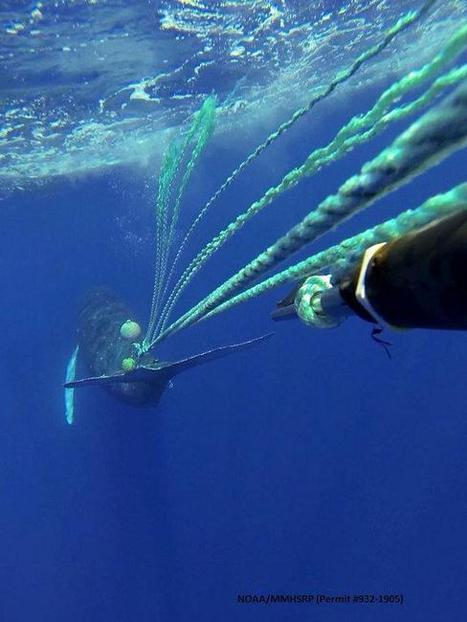 Whale entangled in fishing gear freed | ediving | Scoop.it