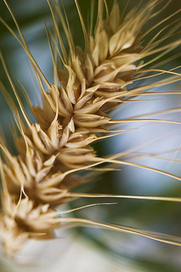 First Comprehensive Analysis of Bread Wheat's Full Genome   Laboratory   Scoop.it