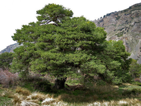 Old Trees Don't Grow Taller, But Pack On Weight Like A Body-Builder | ScoopCapture | Scoop.it
