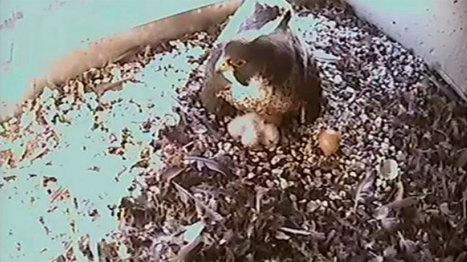 Trois faucons naissent près de la tour Eiffel sous l'oeil d'une caméra - Sciences - MYTF1News   Nature et urbanisme   Scoop.it