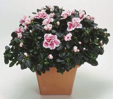 cách trồng và chăm sóc cây hoa đỗ quyên - Vườn cây bốn mùa | tamdeptrai | Scoop.it