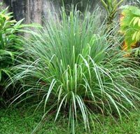 5 Easy to Grow Mosquito-Repelling Plants | ACANTO Green News | Scoop.it