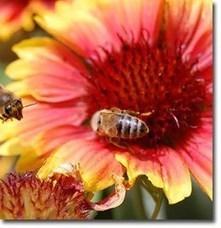 Cómo atraer insectos depredadores beneficiosos ya los polinizadores | Bichos en Clase | Scoop.it