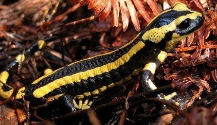 Un champignon tueur s'attaque aux amphibiens en Europe | Toxique, soyons vigilant ! | Scoop.it