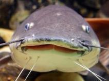 Wild Caught Catfish Processing Plant & Education On Sherbin Collette's ... - PerishableNews (press release)   Laboratory   Scoop.it
