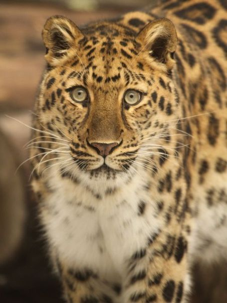 Through Golden Eyes: Rare Amur leopard is a favorite of zoo visitors | Cats Rule the World | Scoop.it