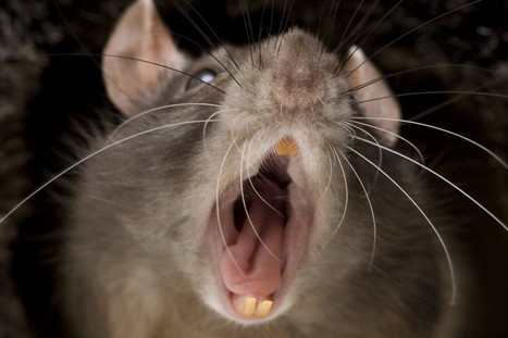 Morgan Spurlock's New Documentary 'Rats' Confirms Your Most Revolting Nightmares | PARA DOX | Scoop.it