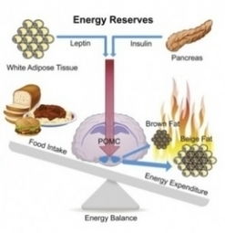 OBÉSITÉ: Une enzyme capable d'induire la perte de poids? – Cell | Santé blog | Scientific Innovations in Biology | Scoop.it