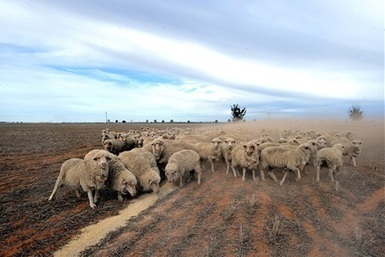 Saudi live export trade push - Queensland Country Life   Agricultural & Horticultural Industry News   Scoop.it
