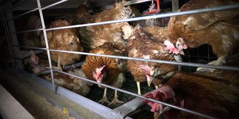 L'industrie alimentaire se détourne en masse des œufs de poules en cage   Alimentation Santé Environnement   Scoop.it