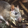 Pet Rat Health and Care Information
