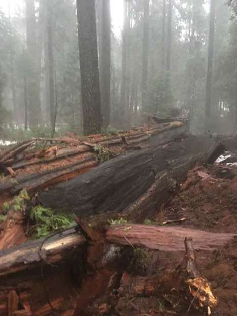 Historic Pioneer Cabin Tree toppled in California storm | Coastal Restoration | Scoop.it