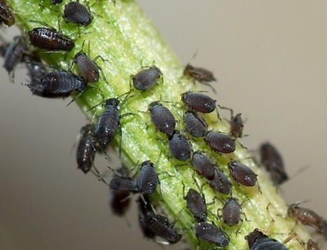 How To Control Aphids & Other Garden Pests Naturally | Gardening | Scoop.it