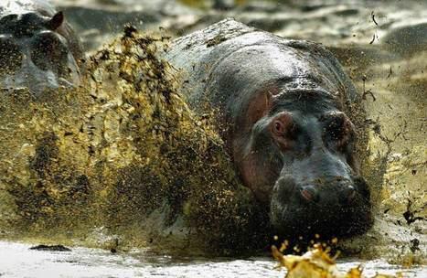 nature-conservancy-contest-hippo.jpg (JPEG Image, 1000×650 pixels) | Interesting Photos | Scoop.it