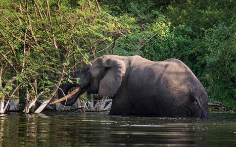 La guérilla, les gorilles et le pétrole : Un mélange toxique ? | Virunga - WWF | Scoop.it