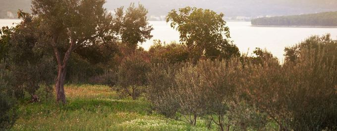 Organic Olive Groves Flourish in Spain