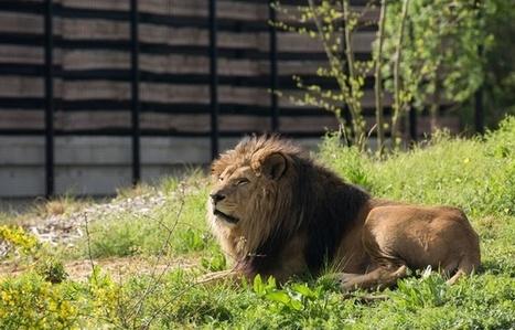 VIDEO. Néro, le vieux lion du zoo de Vincennes, est mort | Biodiversité | Scoop.it
