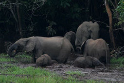 New Fears for Forest Elephants - Wildlife Conservation Society   World of Wonders   Scoop.it