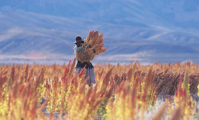 Quinoa brings riches to the Andes | Food Security | Scoop.it