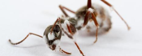 The ants that self medicate | All About Ants | Scoop.it