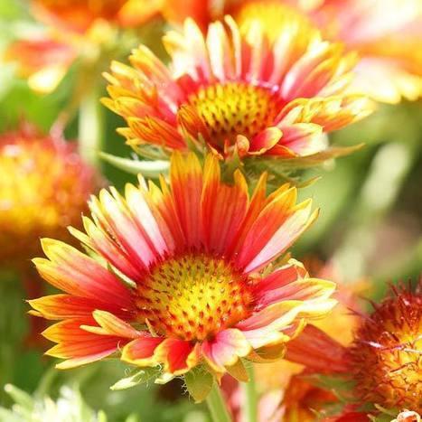 Top 20 Perennials for Your Garden | Landscape Creative Inspiration | Scoop.it