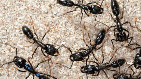Même cachées au coeur de la forêt guyanaise, les fourmis subissent la pollution aux phtalates | Biodiversité & Relations Homme - Nature - Environnement : Un Scoop.it du Muséum de Toulouse | Scoop.it