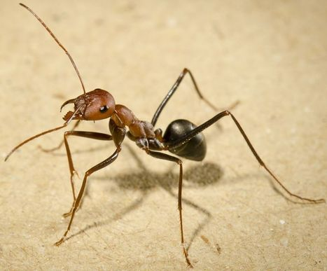 Ants can find their way home walking backwards, but they have to peek first | All About Ants | Scoop.it