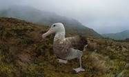 Seabird species face extinction as invaders storm empire's last outcrops | Biodiversity IS Life  – #Conservation #Ecosystems #Wildlife #Rivers #Forests #Environment | Scoop.it