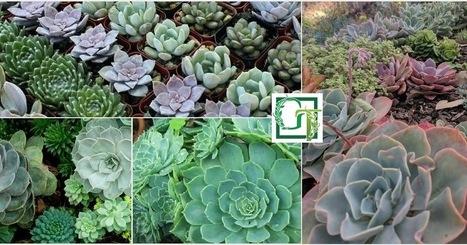 Echeveria Agavoides Pioneer Succulents Garden