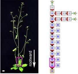 PLOS Biology: Transforming a Stem into a Bush | Plant Gene Seeker -PGS | Scoop.it