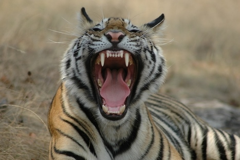 Tiger Tourism: Threat or Conservation Tool? - Travel Culture Magazine   Saving the Wild: Nature Conservation in the Caucasus   Scoop.it