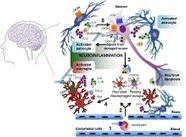 Current status of chemokines in the adult CNS | Neuroscience_topics | Scoop.it