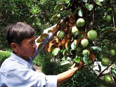Kỹ thuật trồng cây vú sữa cho năng xuất cao-Vườn Cây Bốn Mùa | tamdeptrai | Scoop.it